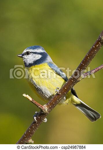 Bluetit (Parus caeruleus) - csp24987884