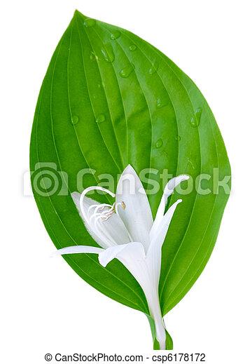 Blume, blatt, hosta. Weiße blume, blatt, freigestellt, hosta ...