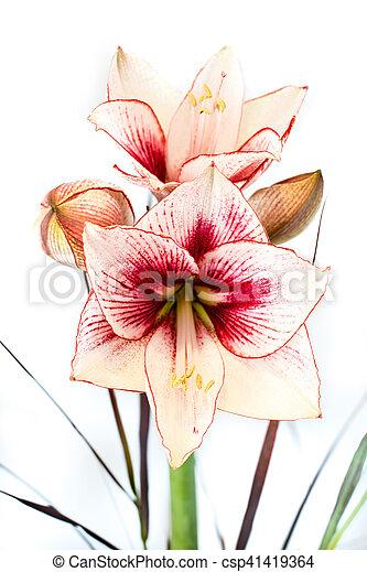 Blume Foto Abstrakt Amaryllis Weiss Rot Blume Foto Abstrakt