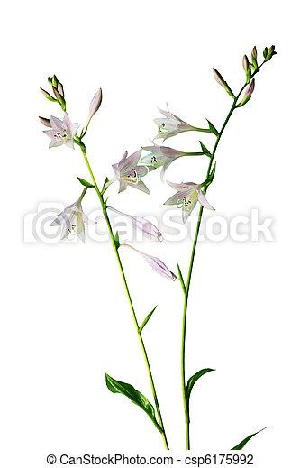 Blume, hosta. Hintergrund, hosta, freigestellt, zweig,... Stockfoto ...