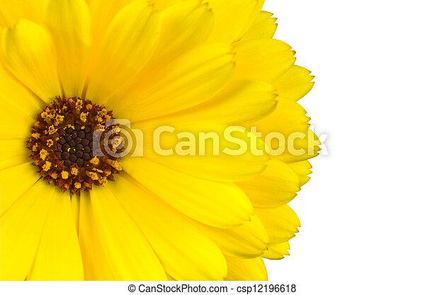 Blume, makro, freigestellt, gelber , weißes, ringelblume ...