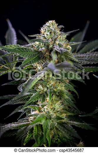 Blume, marihuana, (mangolope, strain), freigestellt, detail ...