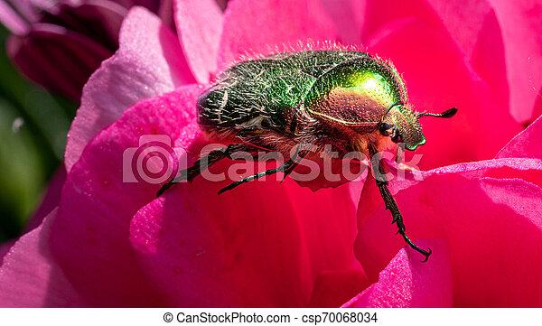 blume, rose, sonnenschein, käfer, sitzt, gold-coloured, rotes  - csp70068034