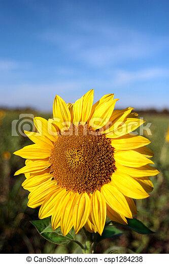 Solarblume - csp1284238