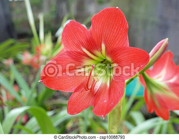 blumen, amaryllis, rotes , beschwingt - csp10088793