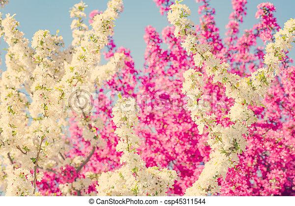 Blumen, baum. Rosa, fruehjahr, weisse blumen, bäume Stockfoto ...