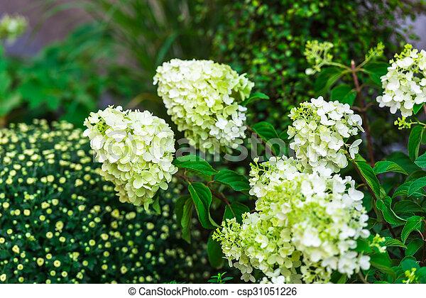 blumen hortensie busch kleingarten wei es garden stockfoto bilder und foto clipart. Black Bedroom Furniture Sets. Home Design Ideas