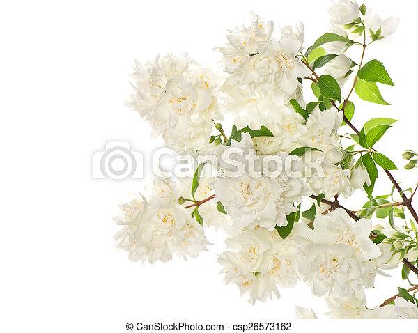 Blumen, jasmin, zweig, blühen. Hintergrund, blühen, jasmin, zweig ...