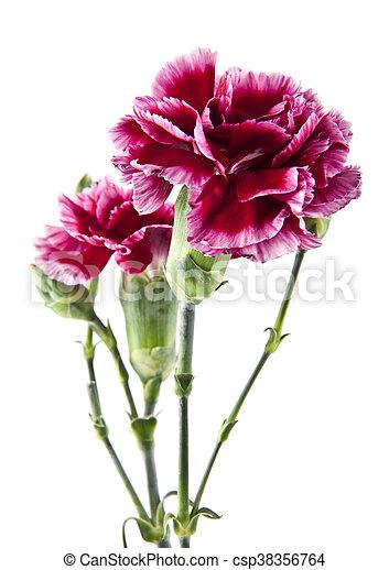 Fabelhaft Blumen, nelke. Nelke, freigestellt, closeup, hintergrund, weisse #RP_89