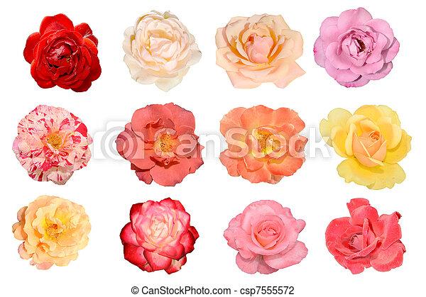blumen, rosen - csp7555572