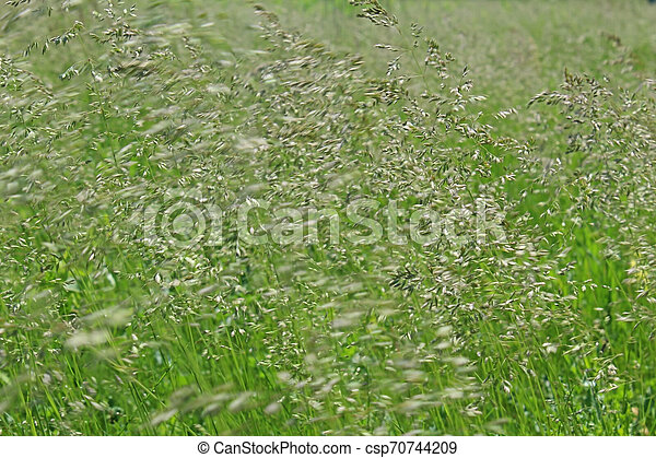 Blurred green grass in wind - csp70744209