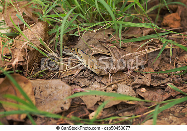 Boa Snake in the grass, Boa constrictor snake on tree branch - csp50450077