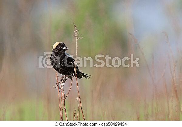 Bobolink in a Prairie atop Goldenrod Stem - csp50429434