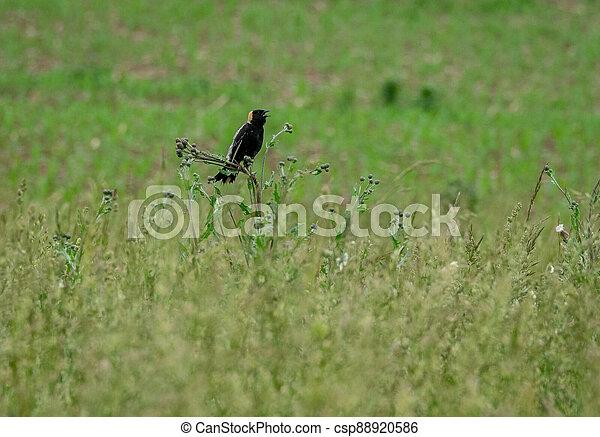 Bobolink in the grass - csp88920586