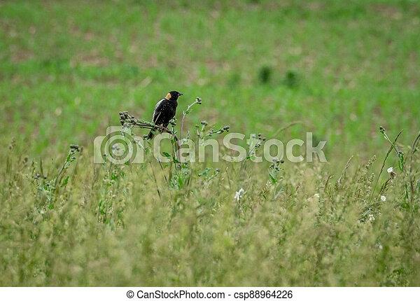 Bobolink in the grass - csp88964226