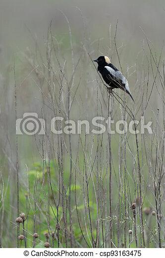 Bobolink on Grass Stalk - csp93163475