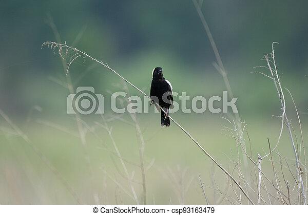 Bobolink on Grass Stalk - csp93163479