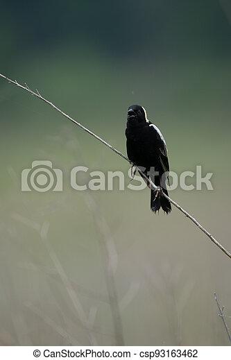 Bobolink on Grass Stalk - csp93163462