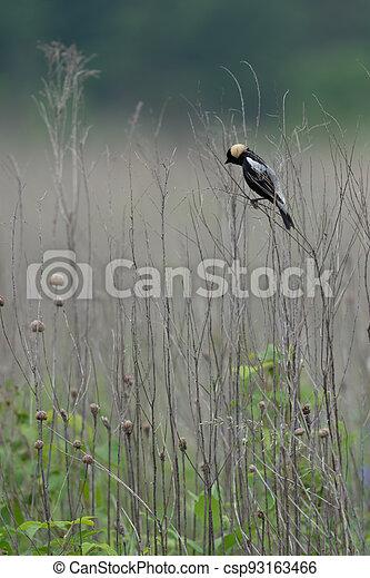 Bobolink on Grass Stalk - csp93163466