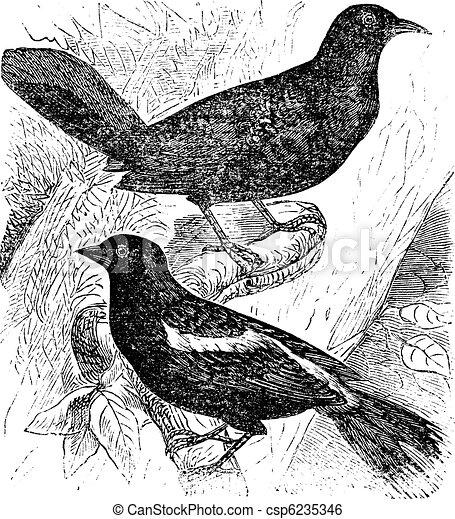 Bobolink or Dolichonyx oryzivorus, two, birds, vintage engraving. - csp6235346