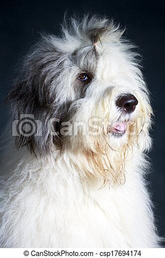 Bobtail dog - csp17694174