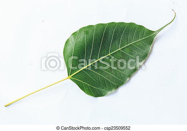 bodhi leaf vein isolated on white background - csp23509552