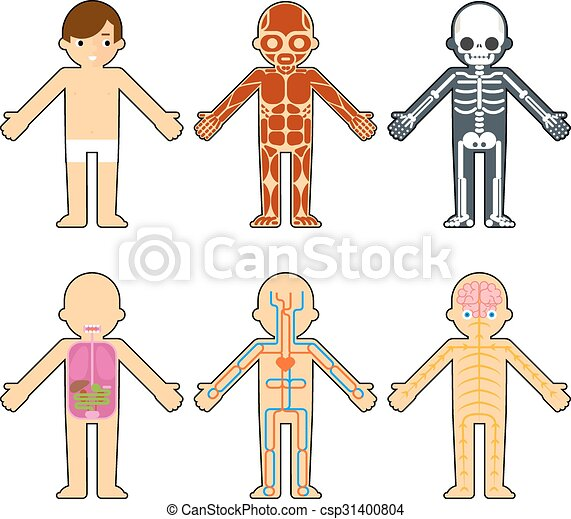 Body Anatomy For Kids The Skeleton And Muscles Nervous Vector