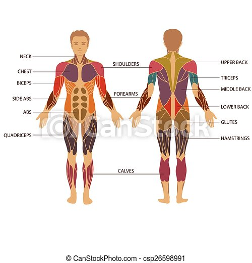 Vector Muscular Human Body Muscle Man Anatomy Eps Vectors Search