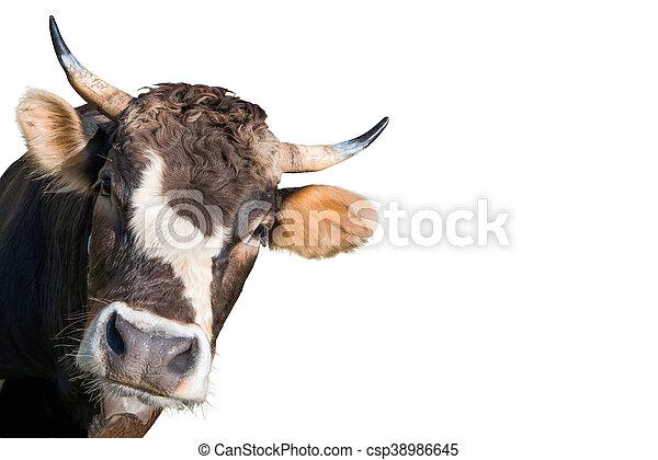 boerderij, koe - csp38986645