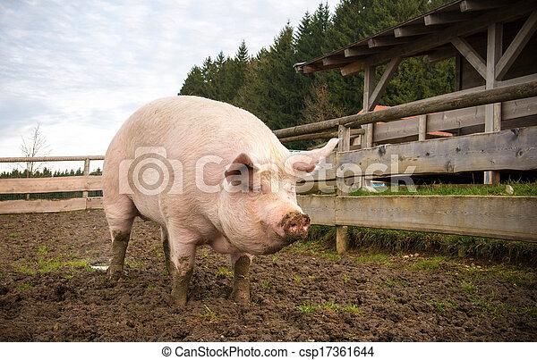 boerderij, varken - csp17361644