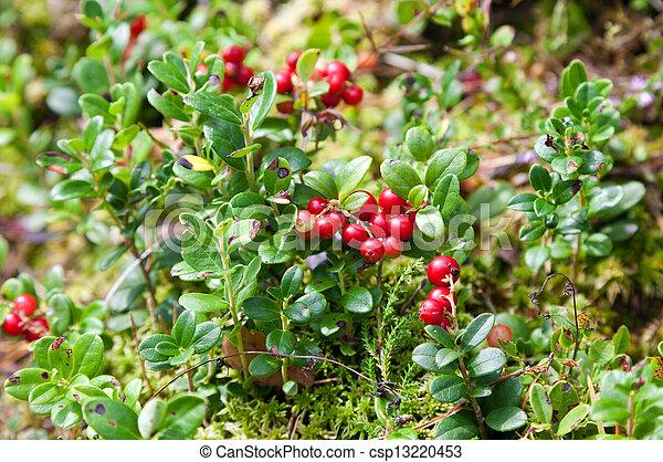 bogyók, cserje, lingonberry - csp13220453