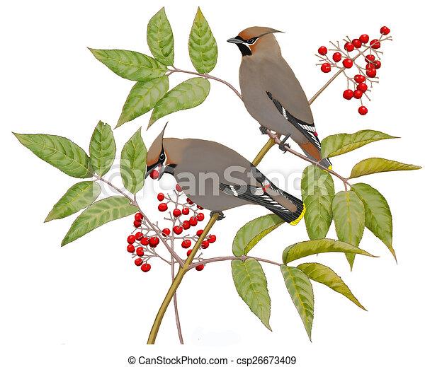 Bohemian Waxwings on Elderberry - csp26673409