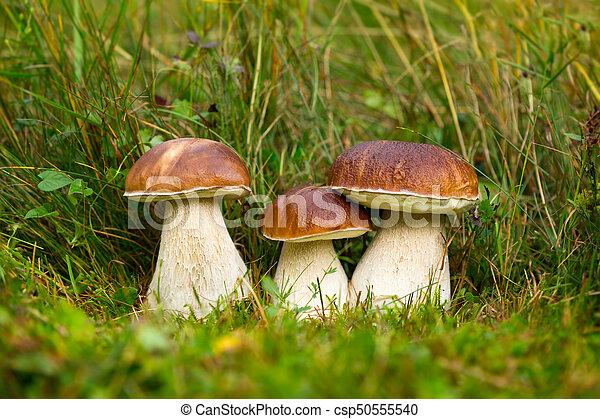 Boletus edulis, edible mushroom - csp50555540