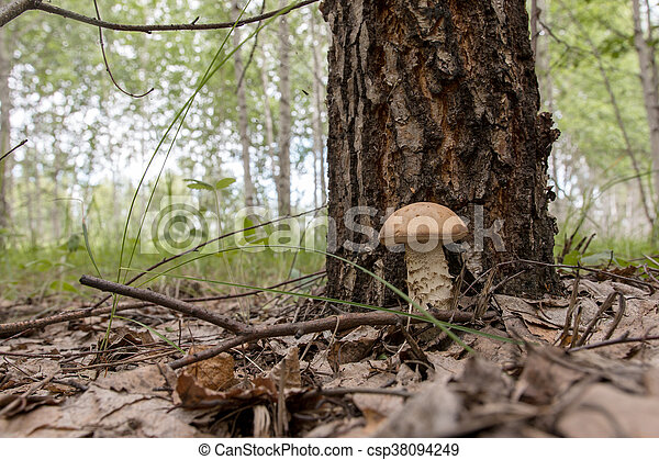 boletus mushroom growing in the forest - csp38094249