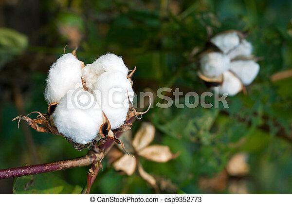 boll, algodão - csp9352773