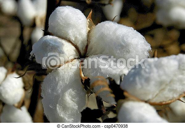 boll, algodão - csp0470938