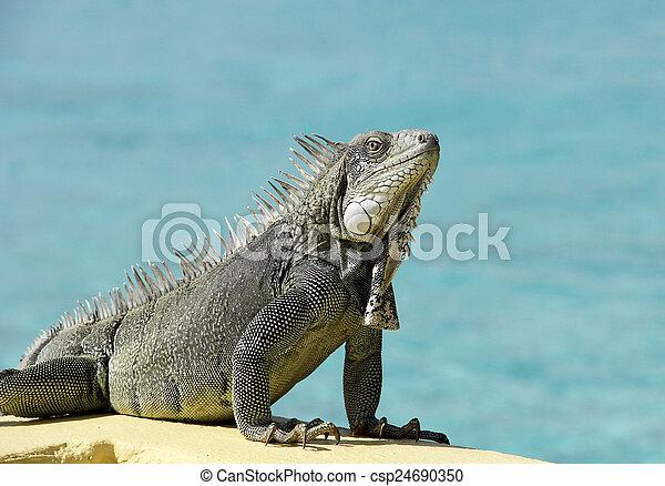 bonaire, iguana - csp24690350