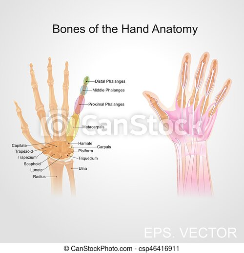 Bone Of The Hand Anatomy Fingers Contain Some Of The Densest Areas