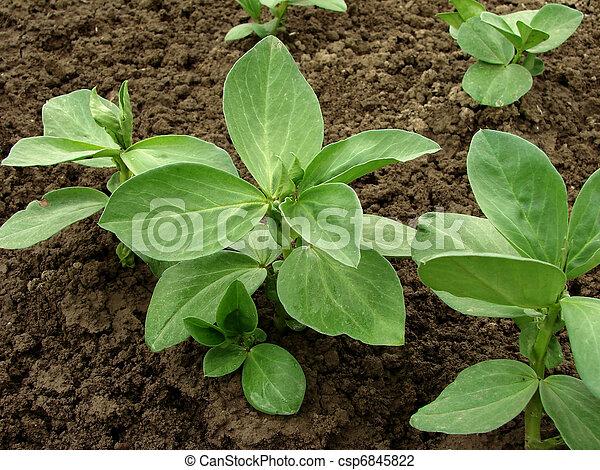 bonen, seedlings - csp6845822