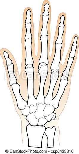 Bones of the Human Hand - csp8433316