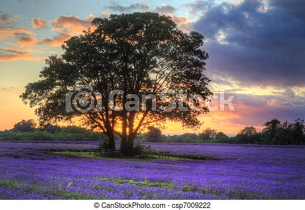 bonito, atmosférico, maduro, vibrante, campo, campos, imagem, céu, lavanda, impressionante, pôr do sol, inglês, nuvens, sobre, paisagem - csp7009222