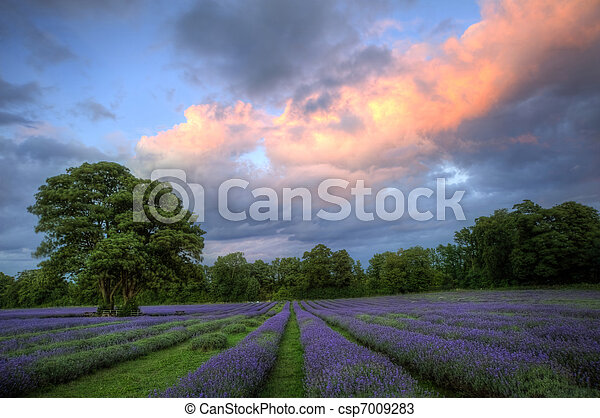 bonito, atmosférico, maduro, vibrante, campo, campos, imagem, céu, lavanda, impressionante, pôr do sol, inglês, nuvens, sobre, paisagem - csp7009283