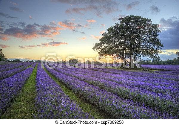 bonito, atmosférico, maduro, vibrante, campo, campos, imagem, céu, lavanda, impressionante, pôr do sol, inglês, nuvens, sobre, paisagem - csp7009258