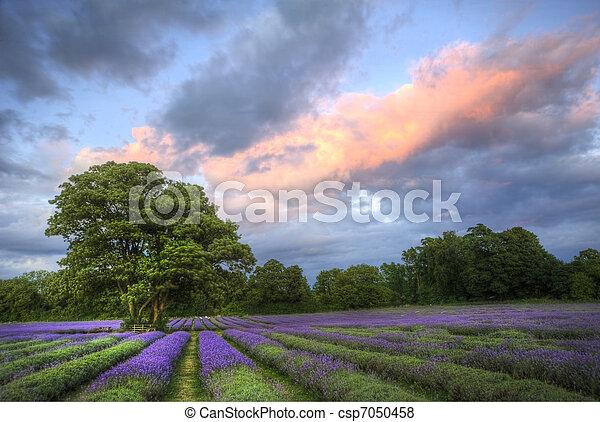 bonito, atmosférico, maduro, vibrante, campo, campos, imagem, céu, lavanda, impressionante, pôr do sol, inglês, nuvens, sobre, paisagem - csp7050458