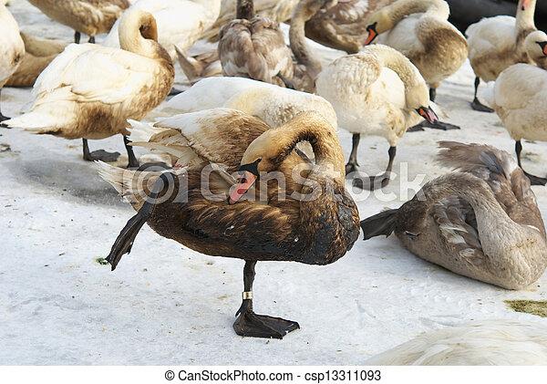 bonito, coberto, cisne, óleo - csp13311093