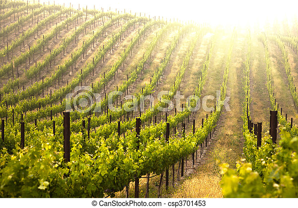 bonito, luxuriante, uva, vinhedo - csp3701453