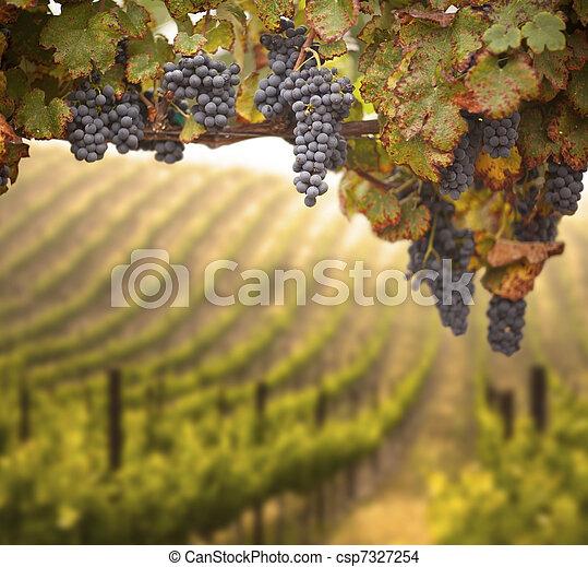 bonito, luxuriante, uva, vinhedo - csp7327254