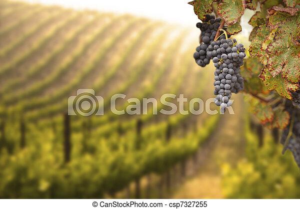 bonito, luxuriante, uva, vinhedo - csp7327255