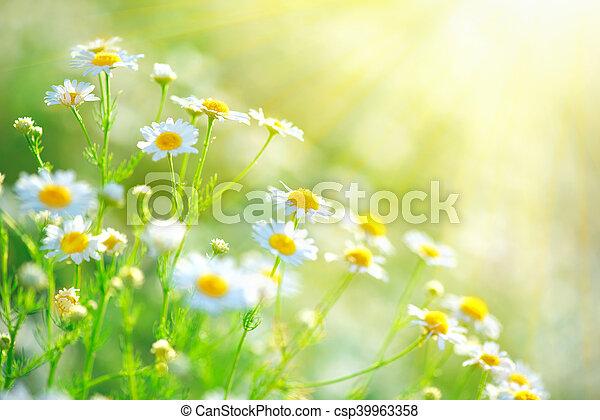 bonito, natureza, sol, cena, chamas, florescer, chamomiles - csp39963358