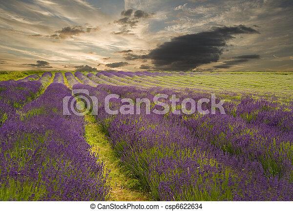 bonito, vibrante, sobre, cor campo alfazema, pôr do sol, paisagem - csp6622634